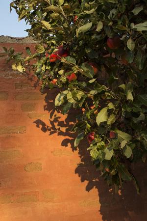 Small apple tree in autumn light.