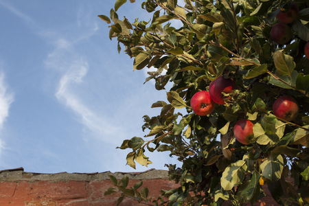 Red autumn apples against blue sky and next to an ancient wall.