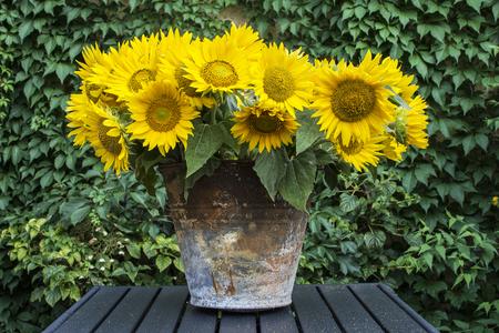Old rusty bucket full of sunflowers