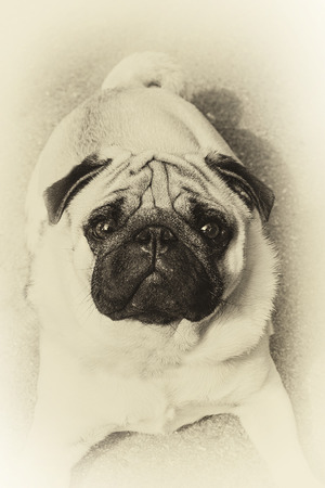 Vintage portrait of a curious pug in sepia