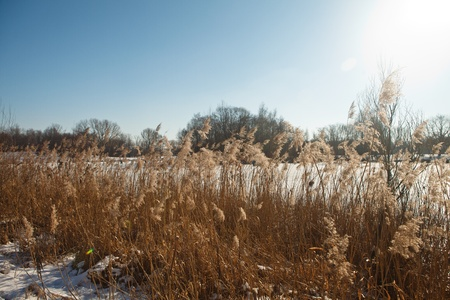 golden reed at the frozen lake in winter photo