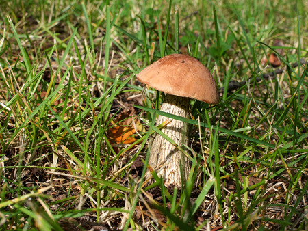 forest products: Boletus in a forest clearing. Stock Photo