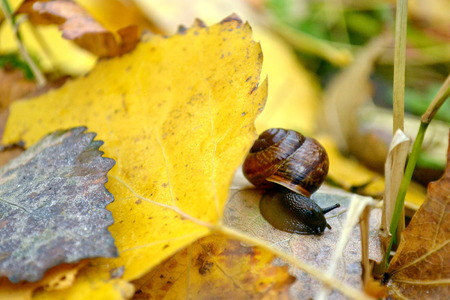 Snail on the fallen yellow foliage.