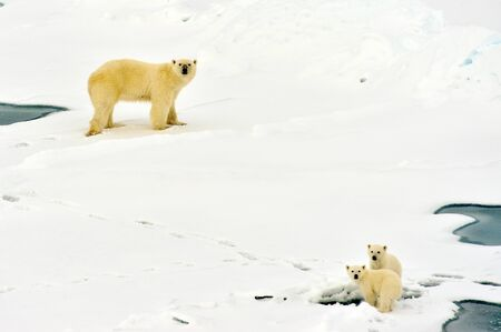 Polar bear with babies in nature environment near north pole. Mum is learning their children to hunt