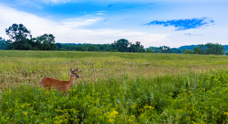 Doe Female Deer in Field Landscape