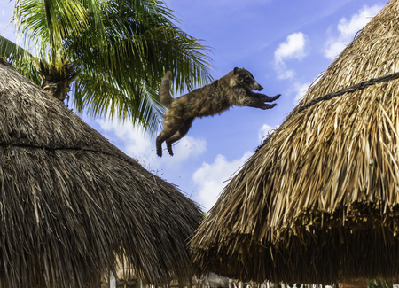 Coati Mundi Jumping Between Straw Hut Rooftops