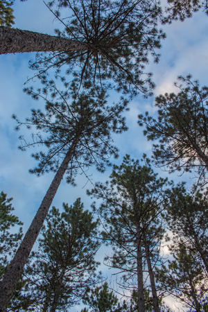 Looking Up at the Sky Through Tall Pine Trees Banco de Imagens