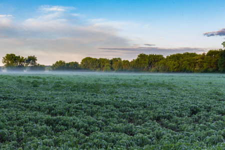 Soybean Field Covered in Fog at Sunrise