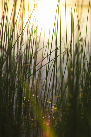 Reeds in Pond at Sunrise