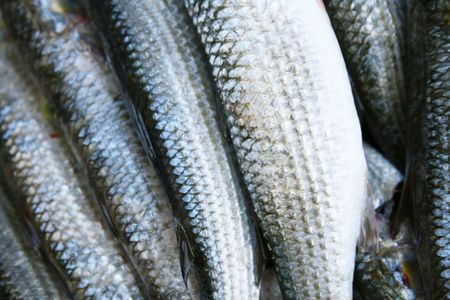 Much fresh fishes, grey mullet