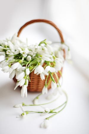 white snowdrops in a basket on white background photo