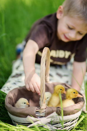 Little boy with a basket full of small chickens  Stock Photo