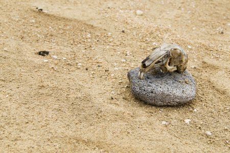 Remains of a rodent skull in a beach photo