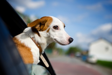 Dog sticking his head out of a car window photo