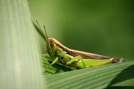 latent: Crickets Stock Photo