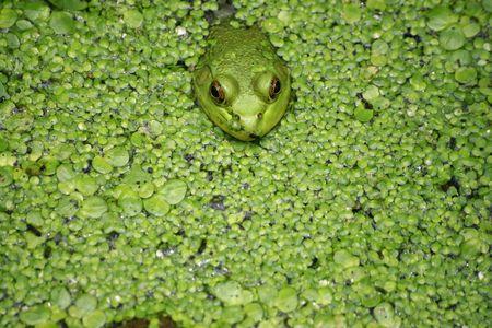 chordates: Frogs