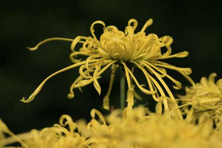 rui: Chrysanthemum