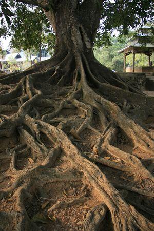 banyan: Banyan tree roots Stock Photo