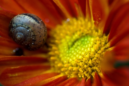 rui: The chrysanthemum and the snail Stock Photo
