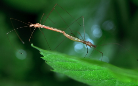 mosquitoes: The long foot mosquitoes