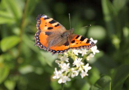 nymphalis: butterfly - aglias urticae or nymphalis urticae