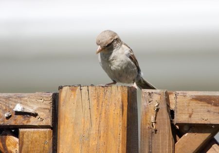 passer by: house sparrow -  passer domesticus Stock Photo