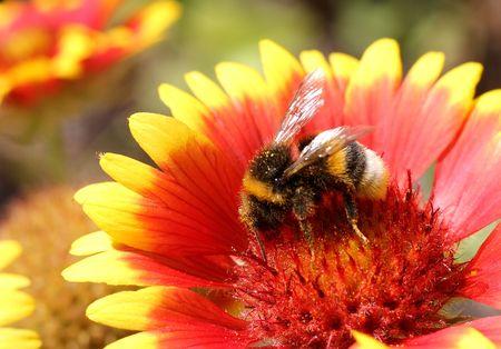 bombus: insect- bumblebee -  bombus terrestri