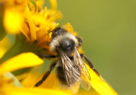 bombus: insect - bumblebee - bombus sylvarum Stock Photo