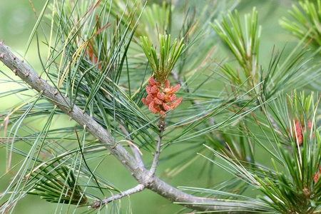 Pollen plugs of the Chinese white pine in the spring. Male plug of the Armands pine - the pollen plugs. Stock Photo - 10259045