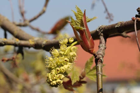tallness: Blossoms and opening buds of the Bigleaf Maple or Oregon Maplein the spring.