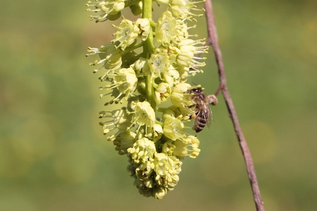 yellowish: The blossoms of the Oregon maple are visited by bees.
