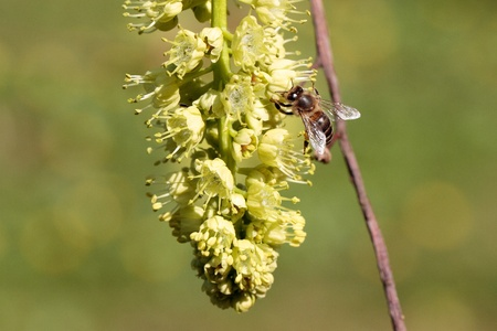 The blossoms of the Oregon maple are visited by bees. Stock Photo - 10261434