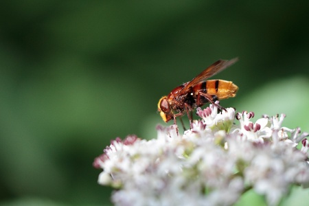 nearness: The hornet mimic hover-fly  with the search for nectar on a blossom. Stock Photo