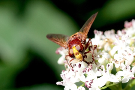 nearness: The hornet mimic hover-fly with the search for nectar on a blossom.