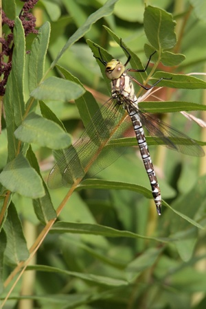 A Southern Hawker or Blue Darner short time after her slip. Stock Photo - 10261426