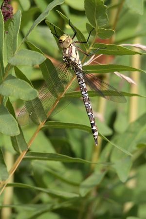 nearness: A Southern Hawker or Blue Darner short time after her slip.