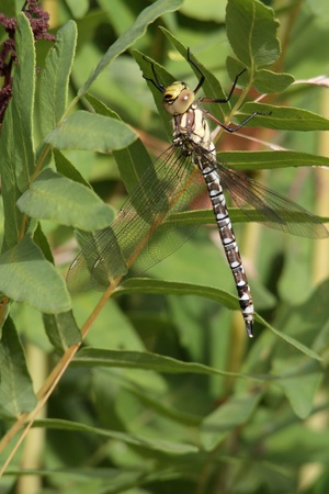 predatory insect: A Southern Hawker or Blue Darner short time after her slip.
