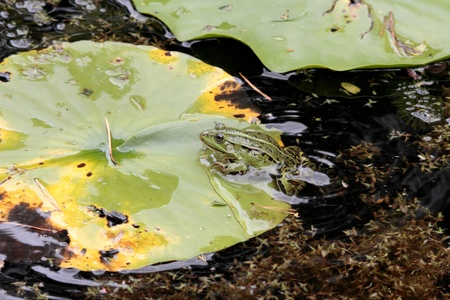 lessonae: A pond frog would like to rest on the sheet of a water lily.