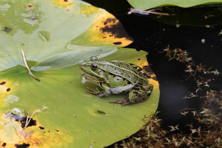 A pond frog sits on the sheet of a water lily. photo
