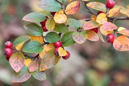 midget: The fruits of the midget medlar in autumn.