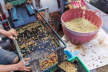 Coffee beans,In the ferment wash method, wet processing,honey process,removed bulb and remaining sweet for dry, premium quality of coffee,Thailand-Image