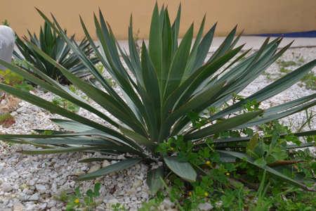 lookalike: Cactus Lookalike Plant