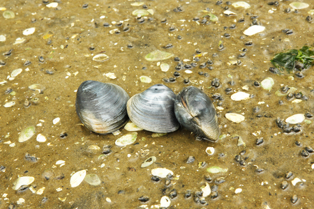 sitting on the ground: Three live clams sitting on the lake ground