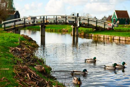 Drake Mallards swimming on the canal near a bridge in Zaanse Schans, Netherlands. Standard-Bild