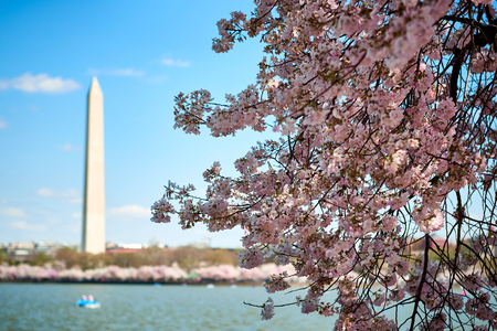 Cherry Blossom in Washington DC with the Monument in the background across of Tidal Basin.