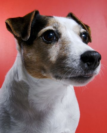 A female Jack Russel protrait.