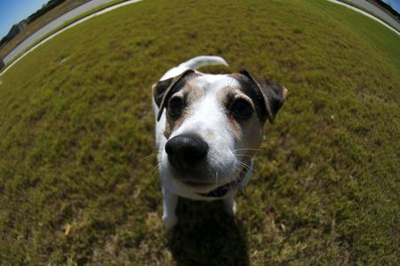 A cute female jack russel photographed with a fisheye thens to exaggerate perspective.
