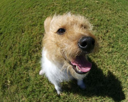exaggerate: A brown headed jack russel photographed with a fisheye thens to exaggerate perspective.