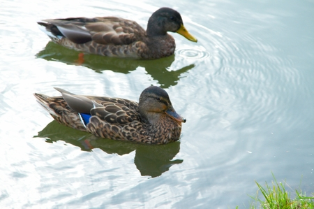 A pond of city park with ����� and drakes