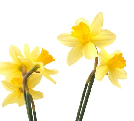 Spring flowers - narcissuses